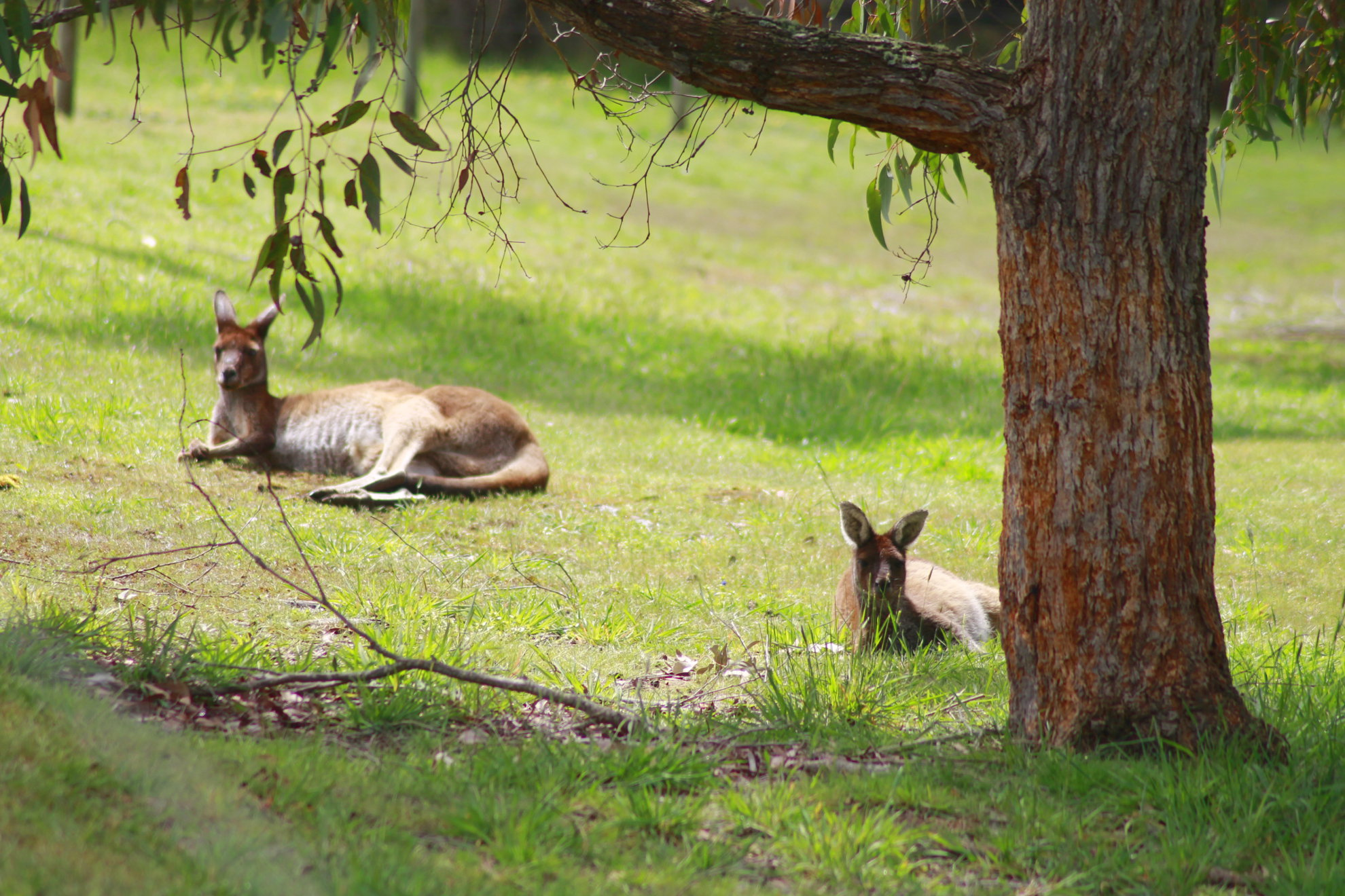 Lazy roos sleeping under a tree